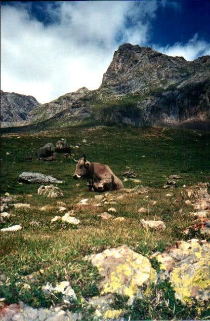 Tuca Alta and cow in Eriste...