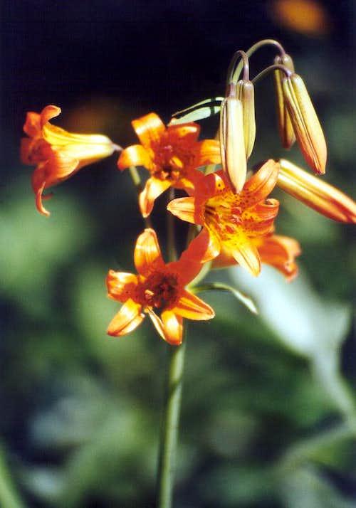 Sierra Tiger Lily