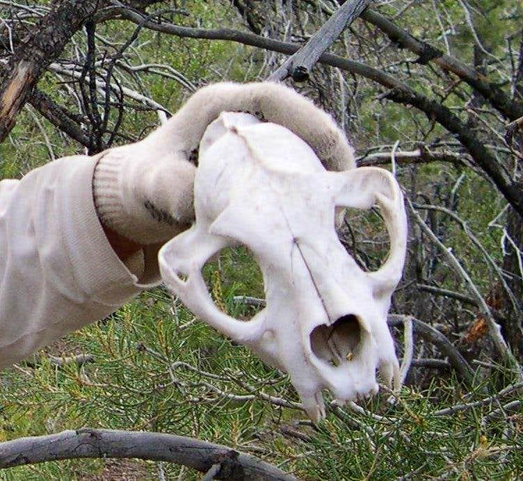 lion-skull1