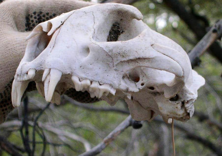 lion-skull2