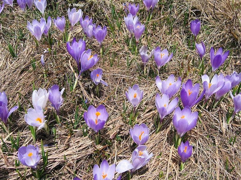Mrazovac flowers