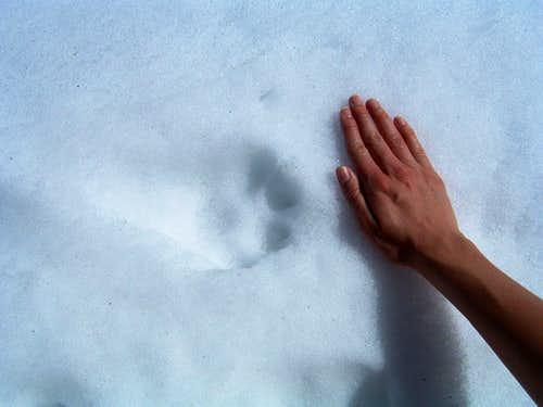 Mountain Lion Track?