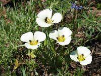 Mariposa Lilly (Calochortus leichtlinii)