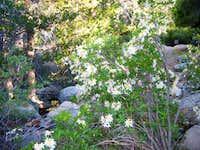 Western Azalea (Rhododenron occidentale)