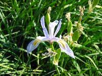 Iris ( Iris missouriensis)
