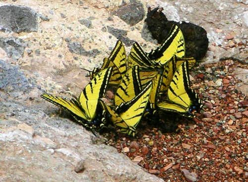 Two Tailed Tiger Swallowtails
