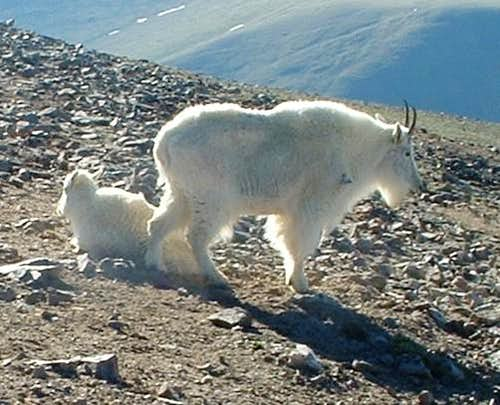 Edwardian to Argentine: Goats Galore!