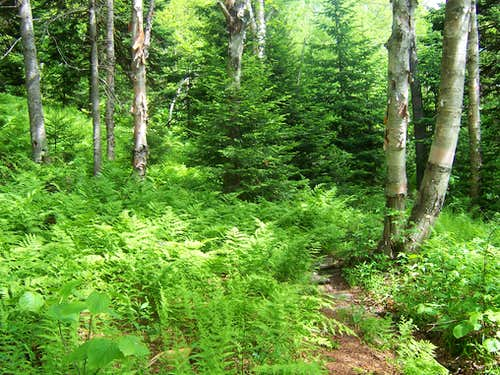 Ferns and Pine Trees