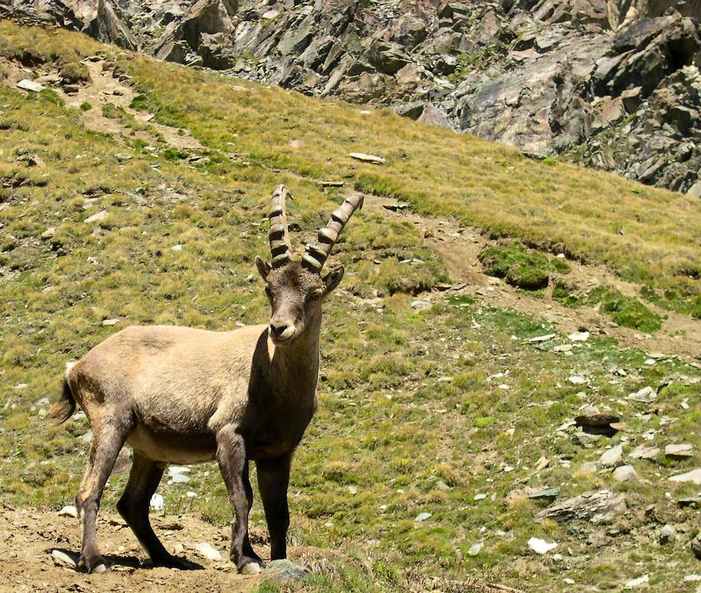 Young steinbock  <i>(Capra ibex)</i> at the foot of colle della Rossa,  vallone del Lauson
