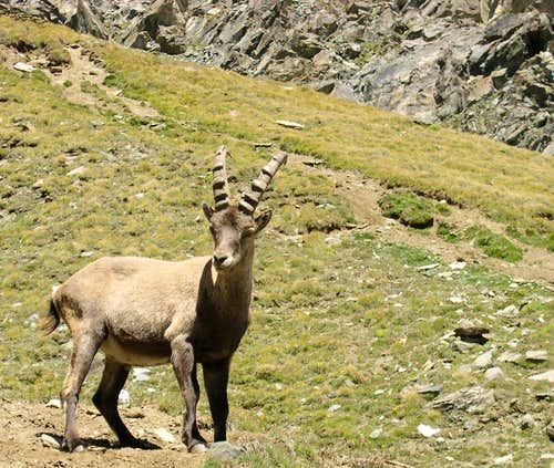 Young steinbock  <i>(Capra ibex)</i> at the foot of colle della Rossa,  vallone del Lauson