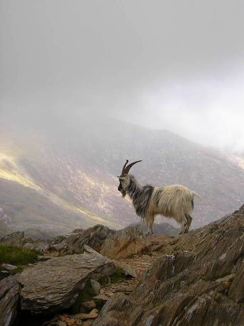 Goat on Snowdon