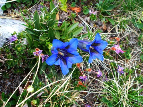 Tipic flora in Julian Alps