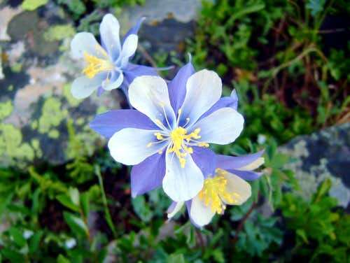 Columbines on Quandary Trail