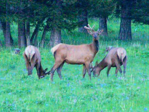 Elk in the Bridger Range, MT