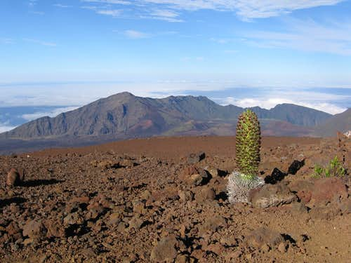 Blooming Silversword on Haleakala