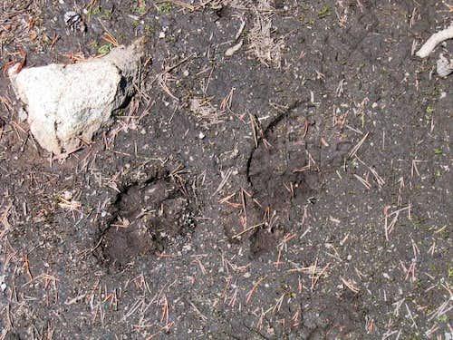 Mountian lion print