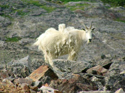 Friendly mountain goats