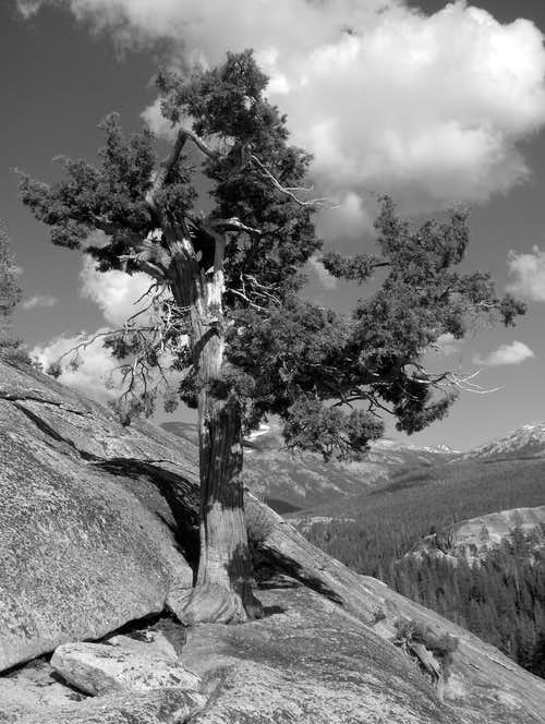 Lone tree on Lembert Dome