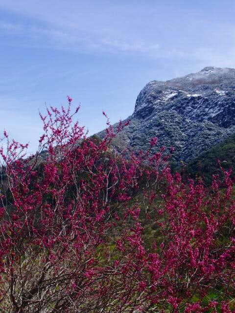 Redbud in the Sierra Foothills