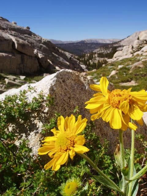 Sunflower growing near Miter Basin