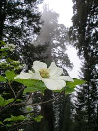 Dogwood and the Stagg Tree
