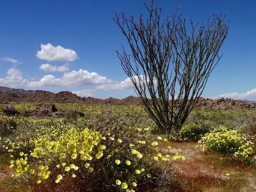 Desert Dandelion and Ocotillo