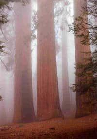 Sequoias in the Mist