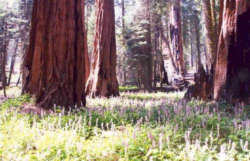 Sequoias and Lupine
