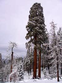 Sequoia Twins