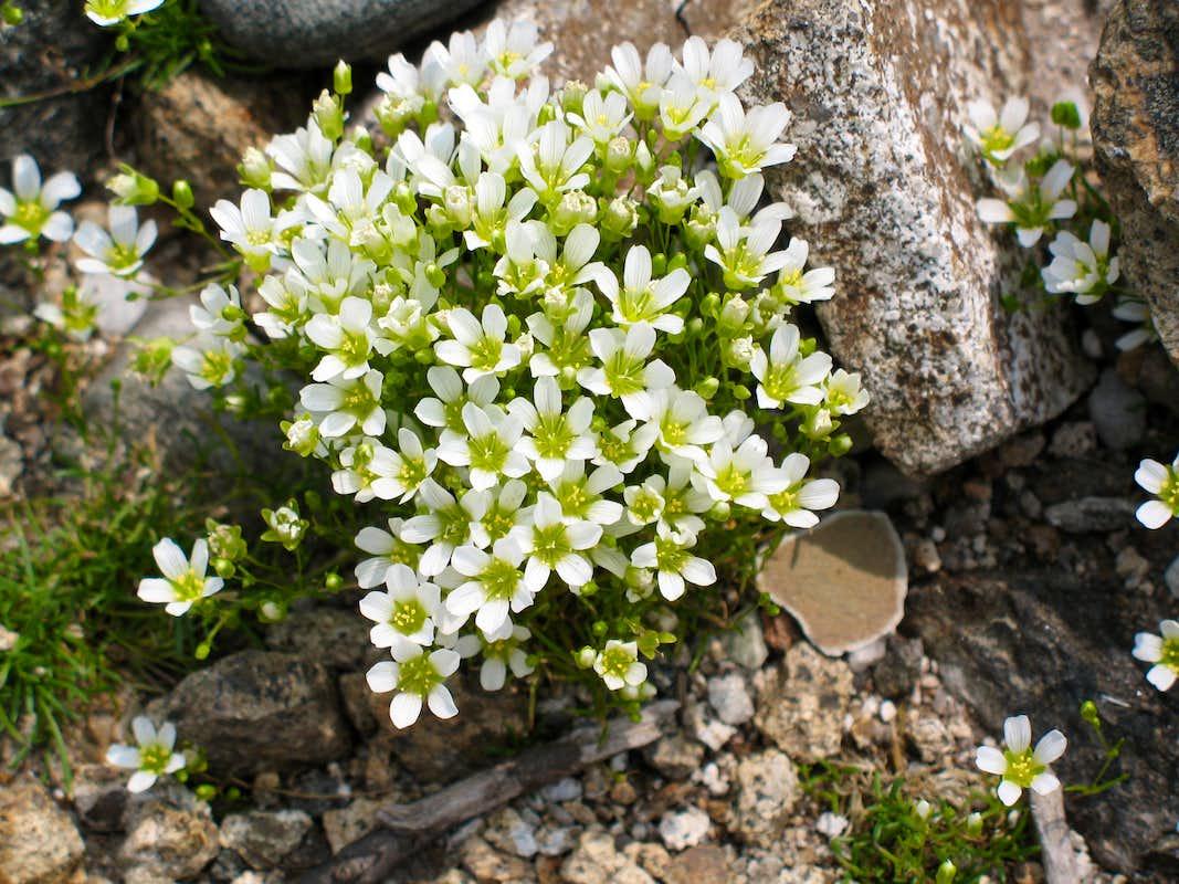 Mountain Sandwort - Arenaria montana - PNW Plants