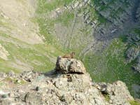Crazy Marmot
