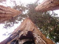 Giant Sequoias in the Kennedy Grove