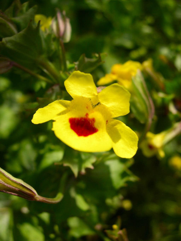 Yellow Monkey Flower Photos Diagrams Topos Summitpost