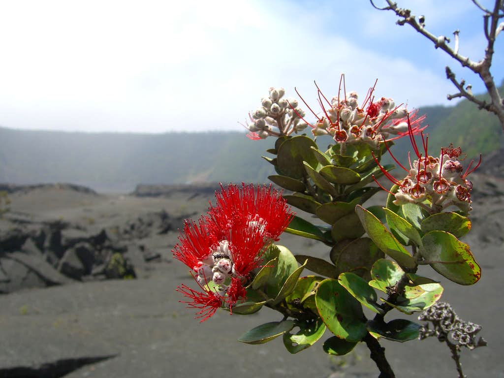 Native flower in the Kilauea Iki Crater