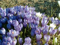 Crocus, flower of spring.