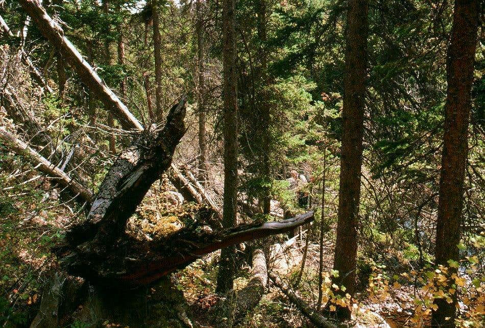 Forest Canyon Bushwack