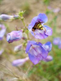 Blue Penstemon and a bee