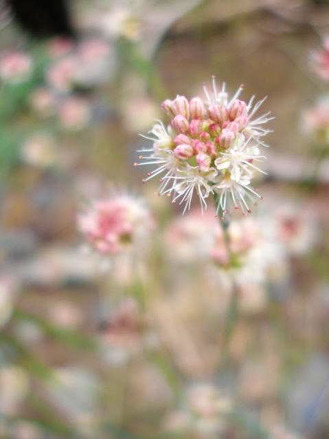 Buckwheat on Bald Mountain