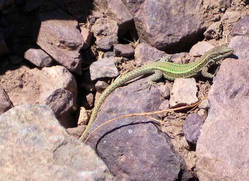 Unknown lizard en route to Imlil