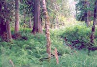 Northwest Lady Fern (Athyrium filix-femina cyclosorum) - Aquarius Cedar Grove