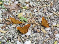 Three butterflies..