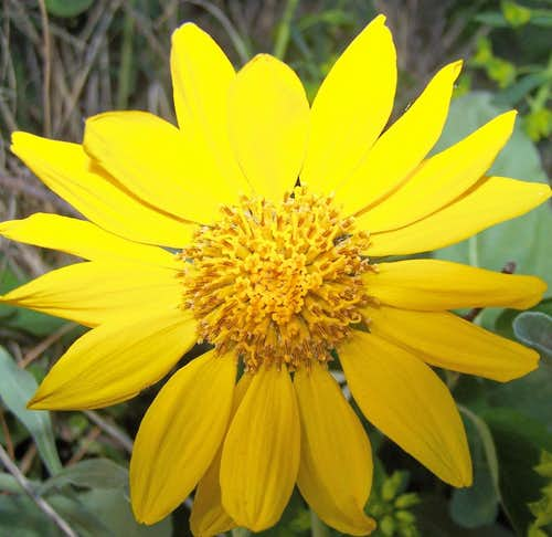 Montana Wildflower
