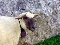 Faulhorn Sheep