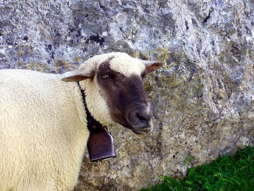 Faulhorn Sheep