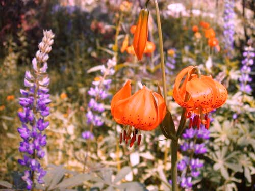 Leopard Lilies and Lupine