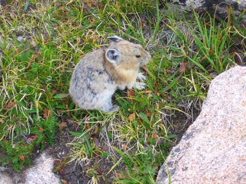 Pika (cony) in RMNP