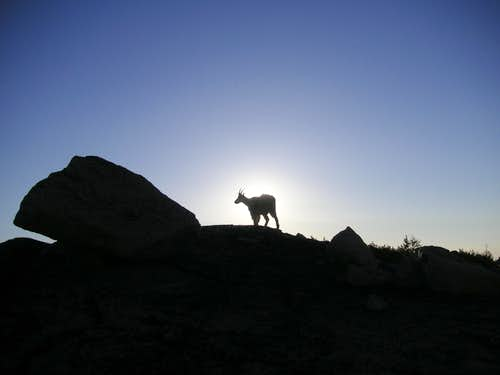 Goat at Dawn