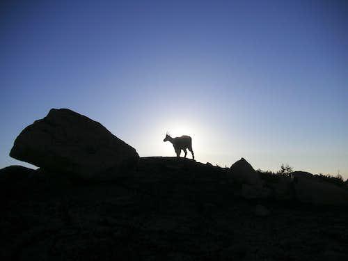 Goat at Dawn