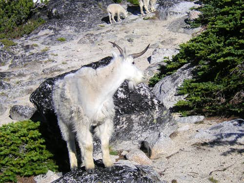 Unicorn Goat