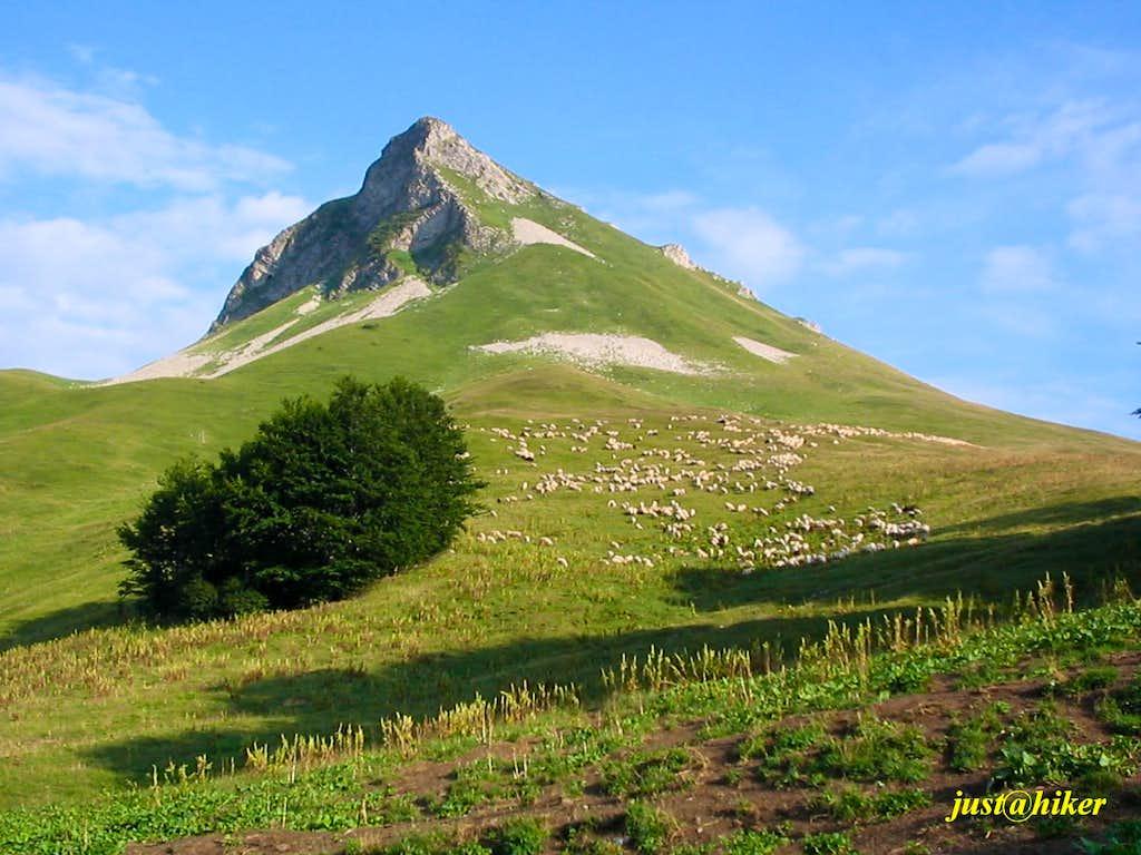 Sheep going home